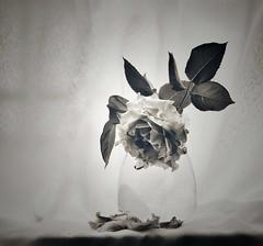 El día que nacemos ya empezamos a morir... (elena m.d.) Tags: flor nikon d5600 sigma105 bn bw monocromo texturas