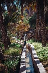 Oasis (dogslobber) Tags: yellow oman omani middle east arab arabian peninsula travel adventure explore wander wanderlust filaj oasis date palm palms green