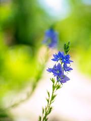 Bluebells (Raoul Pop) Tags: garden path spring macro flowers home sunlight stem bluebells