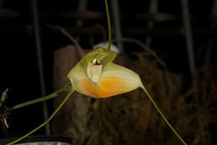 Masdevallia sanctae-inesae 2018-05-14 01 (JVinOZ) Tags: orchid orchidspecies masdevallia