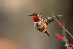 Glowing (Patricia Ware) Tags: allenshummingbird backyard birdsinflight california canon fullframe handheld manhattanbeach multipleflash selasphorussasin tripod httppwarezenfoliocom ©2018patriciawareallrightsreserved specanimal sunrays5