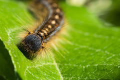 Putting Out Some Feelers (Kevin Tataryn) Tags: caterpillar bugs insect closeup whiskers feelers nkon d500 tokina 100mm critter crawling canada nature backyard