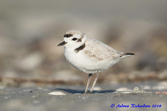 Snowy Plover (Andrew's Wildlife) Tags: snowy plover