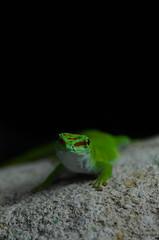 Gecko (Scholt's) Tags: cute animal pet zoo beauval zoobeauval france macro nikon d7000 vert green eyes gecko reptile
