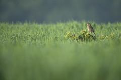 Corn Bunting (Benjamin Joseph Andrew) Tags: bird spring farming farmland agricultural perching songbird passerine arable