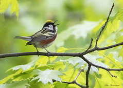 Chestnut-sided Warbler (sbuckinghamnj) Tags: warbler songbird chestnutsidedwarbler garretmountain garretmountainreservation newjersey