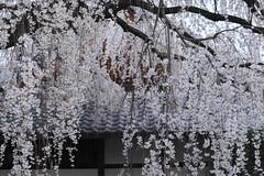 Sakura,Honman-ji,Kyoto (yopparainokobito) Tags: sakura cherryblossom さくら 桜 本満寺 honmanji kyoto 京都 canon eos m3 eosm3
