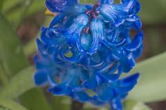 18-04-01 hya blü blau nah dsc09229-1 (u ki11 ulrich kracke) Tags: blüteblau hyazinthe kelchblau nah terrasse tröp