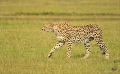 _DSC0952 (Eykat) Tags: pygargue africaneaglefish kenya massaïmara baringo bogoria haliaeetusvocifer mangouste mungosmungo circaete blackchestedsnakeeagle circaetuspectoralis cheetah guepard