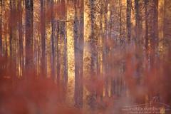 UDABERRI GORRIA (Obikani) Tags: basoa forest bosque beech hayedo pagadia aralar paisaje landscape abstract gorria rojo red luz argia light natura nature navarra nafarroa