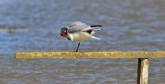 Up to Scratch & Above Board ! (nick.linda) Tags: blackheadedgull gulls chroicocephalusridibundus rspbstrumpshawfen norfolk wildandfree board scratch canon7dmkii sigma150600c