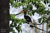 Great Indian Hornbill (Saumil U. Shah) Tags: therealsaumil saumil shah saumilshah nature wildlife landscape kaziranga national park nationalpark assam northeast india asia forest greatindianhornbill great indian pied hornbill
