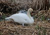 Not an ugly duckling! (Gunn Shots.) Tags: cygnet swan muteswan nest hatching eggs lasgallinas reeds baby
