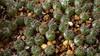 Frailea castanea (Awavi) Tags: frailea seedling