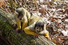 Friends (Photography by Martijn Aalbers) Tags: squirrelmonkey doodshoofdaapje apenheul apeldoorn guelders gelderland animal dier zoo dierentuin beast beest mammal zoogdier canoneos77d ef70200mmf4lisusm wwwgevoeligeplatennl