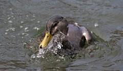 Black Duck (Drake) (kearneyjoe) Tags: blackduck