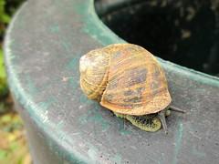 Shy Snail (Julie (thanks for 9 million views)) Tags: 2018onephotoeachday snailsaturday gardensnail texture shell canonixus170 garden fauna mollusc hss wexford ireland irish cornuaspersum