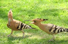 Sharing (Khaled M. K. HEGAZY) Tags: nikon coolpix p520 sharmelsheikh gafyresort egypt nature outdoor closeup bird eurasianhoopoe grass green brown white black