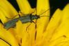 Oedemera virescens (Linnaeus, 1767) = Cantharis virescens Linnaeus, 1767. (chug14) Tags: unlimitedphotos macro insecte animalia arthropoda hexapoda insecta coleoptera oedemeridae oedemerinae oedemerini cantharisvirescens oedemeravirescens