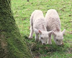 Twins! ('cosmicgirl1960' NEW CANON CAMERA) Tags: spring lambs dartmoor devon green grass white fleece cute young juvenile baby babies sheep nature farm farmland animals yabbadabbadoo