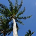 Kanaau - Palm Tree thumbnail