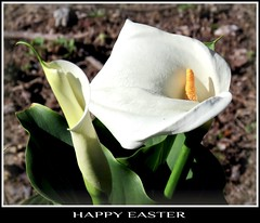 Happy Easter to all my Flickr Friends (Bennilover) Tags: flower flowers lilies lily easter friends wishes blessing happy callalily arum wild