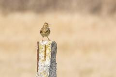 Skylark Singing from Post (www.andystuthridgenatureimages.co.uk) Tags: skylark singing song perch perched sunshine spring april lark
