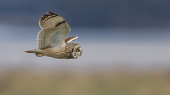 Short Eared Owl (Glenn.B) Tags: owl bird aust gloucestershire shortearedowl birdofprey