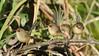 Female Variegated Fairy-wrens (Malurus lamberti) (Greg Miles) Tags: variegatedfairywren maluruslamberti scottshead gaagalwanggaannationalpark