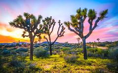 Epic Joshua Tree National Park Landscapes!  California Desert Wildflower Superbloom! God Spilled the Paint! Dr. Elliot McGucken Fine Art & Nature Photography Sony A7RII Nature Photography (45SURF Hero's Odyssey Mythology Landscapes & Godde) Tags: epicjoshuatreelandscapesdrelliotmcguckenfineartphotographysonya7riinaturephotography fineart nature fineartphotography naturephotography masterfineartphotography fineartphotographer elliotmcguckenfineart elliotmcguckenphotography elliotmcguckenfineartphotography naturephotos fineartphotos joshuatreespring joshuatree sonya7r2 sonnar tfe 55mmf18zalens sonya7rii a7rii a7r2 a7r a7 sonya7 sonya7r sonya7riisony1635mmvariotessartfef4zaossemountlens epic joshua tree national park landscapes california desert wildflower superbloom god spilled paint dr elliot mcgucken fine art photography sony