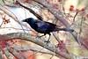 Common Grackle (Anne Ahearne) Tags: nature wild animal bird wildlife grackle tree maple spring springtime