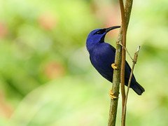 Purple Honeycreeper male, Trinidad (annkelliott) Tags: trinidad island caribbean westindies asawrightnaturecentre nature wildlife ornithology avian bird purplehoneycreeper cyanerpescaeruleus genuscyanerpes tanagerfamily purpleblue adult male perched branch frontsideview rainforest neotropical bokeh outdoor 16march2017 fz1000 panasonic lumix annkelliott anneelliott ©anneelliott2017 ©allrightsreserved