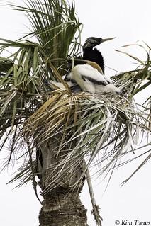 Adult Male Anhinga (Anhinga anhinga) with two White Down Chicks in the Nest - Viera Wetlands, Florida
