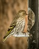 Pine Siskin . . . (Dr. Farnsworth) Tags: fern ridge mimichiganspring april 2018 bird small common pinesiskin goldfinch range bill streaking