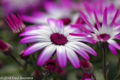 On the terrace, Pericallis Senetti 'Magenta Bicolor' (Fred / Canon 70D) Tags: garden flowers spring spring2018 pericallissenettimagentabicolor ef100mmf28lmacroisusm canon70d canoneos canon eefde pericallissenetti