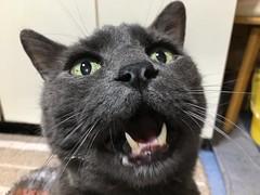 Food!!! (sjrankin) Tags: japan hokkaido yubari floor kitchen teeth meow cry closeup bonkers cat animal edited 19april2018
