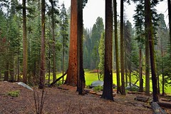A Look Through the Trees to More Trees Beyond (Sequoia National Park) (thor_mark ) Tags: nikond800e day9 triptopasoroblesandyosemite sequoianationalpark crescentmeadows lookingne capturenx2edited colorefexpro sequoiaandkingscanyonnationalparks unescosequoiakingscanyonbiospherereserve sequoiakingscanyonbiospherereserve outside landscape nature pacificranges sierranevada sequoiasierranevada westernsequioakingscanyonarea hillsideoftrees trees overcast evergreens talltrees talltreesallaround redwoods crescentmeadowpicnicarea crescentmeadow project365 california unitedstates