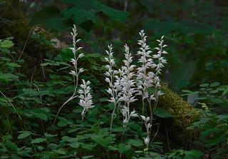 Cephalanthera austiniae (phantom orchid)