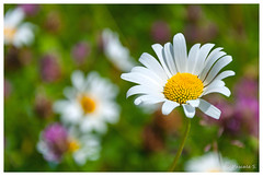 Simple comme une marguerite (Pascale_seg) Tags: spring printemps marguerite daisy white blanc flower moselle lorraine grandest france nikon bokeh bn