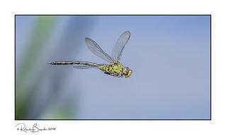Frozen in flight - Emperor Dragonfly (Anax imperator)