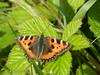 Tortoiseshell Butterfly, Caledonian Canal, Inverness, May 2018 (allanmaciver) Tags: tortoiseshell butterfly orange green beauty fly colours caledonian canal inverness scotland walk enjoy allanmaciver