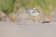 Piping Plover (Jesse_in_CT) Tags: pipingplover nikon nikon200500mm shorebird