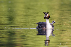 Beautiful specimen of female of great crested grebe carrying her little chick on the back (Brambilla Simone Photography) Tags: animal animale animales animali animals baby back background bavaria beautiful bird chick colorful crested cristatus cute esterni europe family fauna female germany great grebe green italy lake life munich natura naturalistic naturalistica nature outdoor parent peaceful podiceps reflection river selvaggia small spring surface swim vita water waterbird wild wildlife young villadadda lombardia italia it