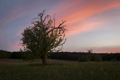 Grow on (siebensprung) Tags: tree baum landscape landschaft sunset sonnenuntergang summer sommer fruit obstbaum apple apfel wiese meadow grow growing wachsen nature natur
