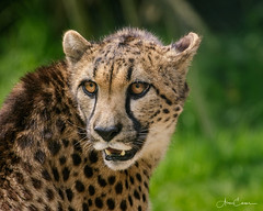 Cheetah Close Portrait (Ukfalc) Tags: cheetah acinonyxjubatus cat mammal animal portrait exmoorzoo canon 7dii 70300l 2018