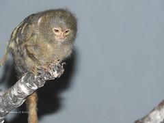 Ouistiti pygmée (Cebuella pygmaea) (Annelise LE BIAN) Tags: animaux ouistitipygmée servion suisse singes explore alittlebeauty coth coth5