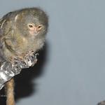 Ouistiti pygmée (Cebuella pygmaea) thumbnail