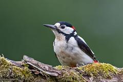 Great Spotted Woodpecker, Dendrocopos major (Kevin B Agar) Tags: britishbirds dendrocoposmajor greatspottedwoodpecker hawkswickcote littondale thedales