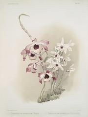 Dendrobium (hybridum) venus, Dendrobium (hybridum) cassiope from Reichenbachia Orchids (1888-1894) illustrated by Frederick Sander (1847-1920).