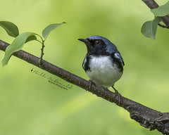 Black-throated Blue Warbler (Bill McDonald 2016) Tags: warbler blackthroated blue billmcdonald grenfellweeblycom wwwtekfxca perched boreal forest northern ontario canada june 2018 spring